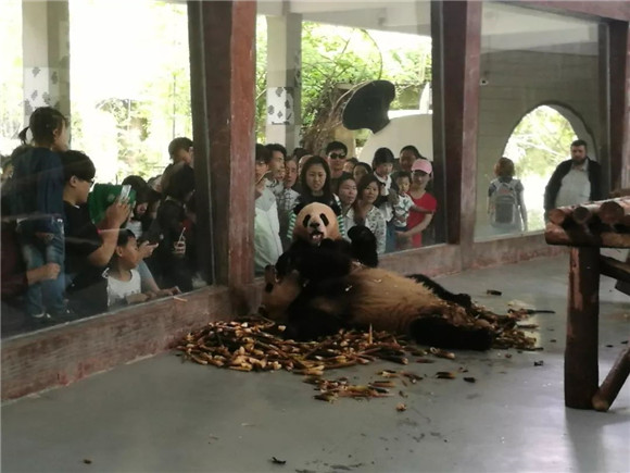"""上海动物园网红大熊猫""""星二""""下周回成都 馆舍将改建迎新的大熊猫[墙根网]"""