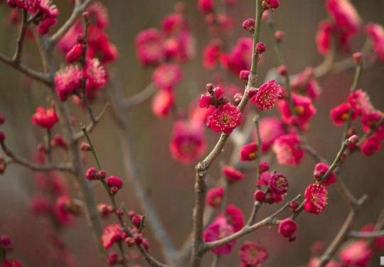 冬季去赏花 北京冬天赏梅攻略