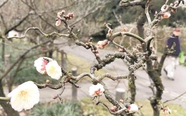 上海植物园内的早梅花预计春节期间将迎来盛花期