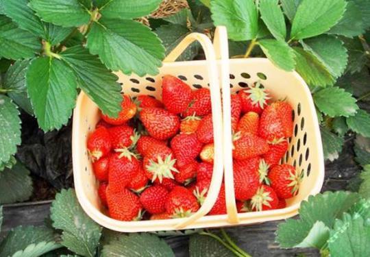 北京头茬草莓上市可供应至春节 采摘价格一斤60到100元不等