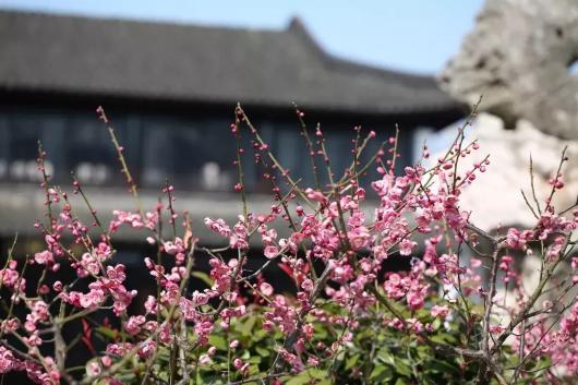 2019上海梅花节即将开幕,上海赏梅去哪儿?最新上海赏梅攻略![墙根网]