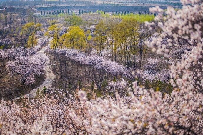 昌赤路、高芹路:北京春季最美赏花路[墙根网]