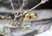 2019颐和园第八届梅花、腊梅迎春文化展春节期间举办
