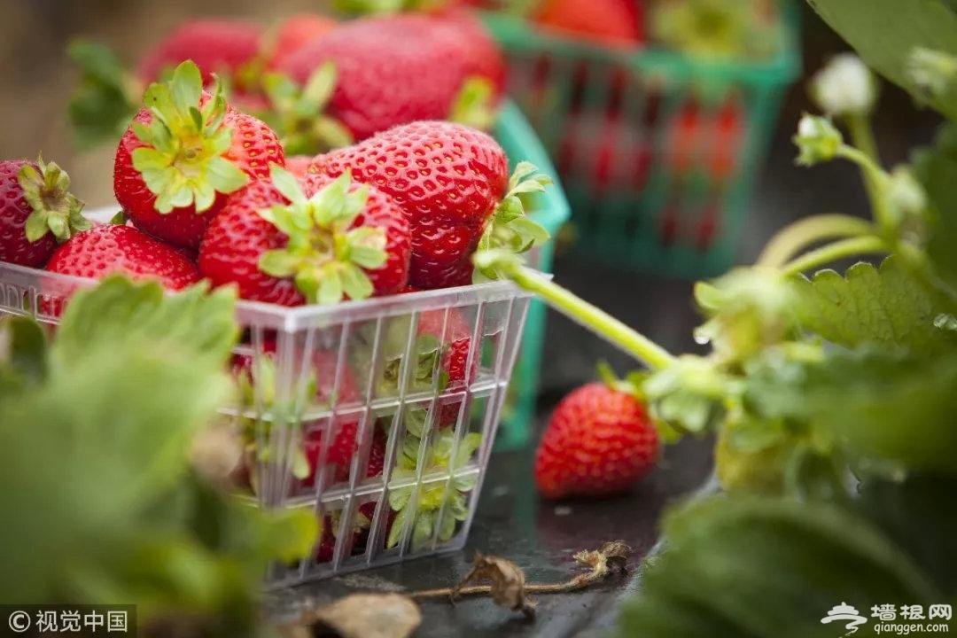 北京春节草莓采摘最新攻略[墙根网]