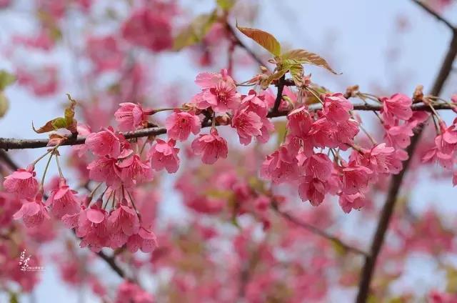 """""""史上最早""""!上海早樱提前近一个月开花报喜,只因遇上暖冬?[墙根网]"""