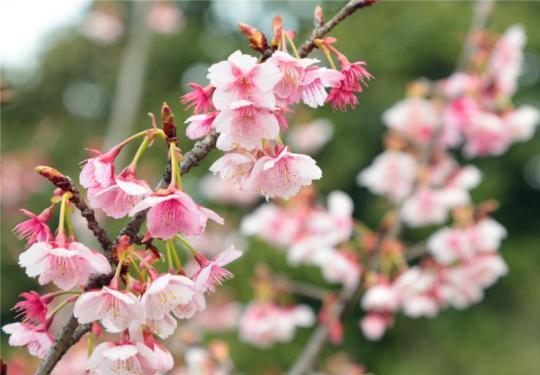 """""""史上最早""""!上海早樱提前近一个月开花报喜,只因遇上暖冬?"""