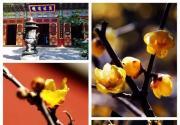 北京去哪里看梅花 可以来这几个景区踏雪寻梅