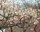 上海植物园梅花盛开 赏梅探春正当时
