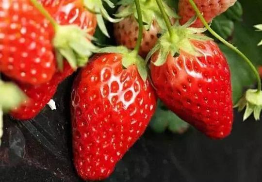 昌平木林森农业休闲观光公园草莓采摘活动(时间+地点+价格)
