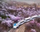 北京的樱花快要开了,我们在哪里见?