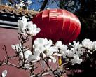北京玉兰花