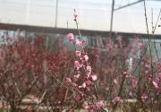 鷲峰國家森林公園內梅花綻放春意滿園