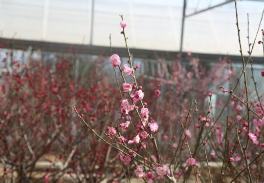 鹫峰国家森林公园内梅花绽放春意满园