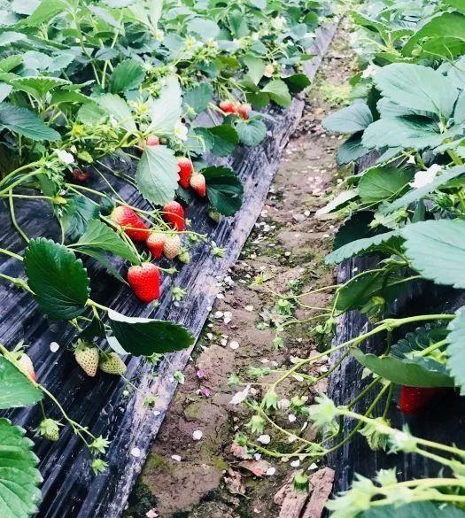 2019上海草莓采摘地图[墙根网]
