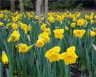 上海植物园洋水仙渐入佳境 集体吹响迎春号角