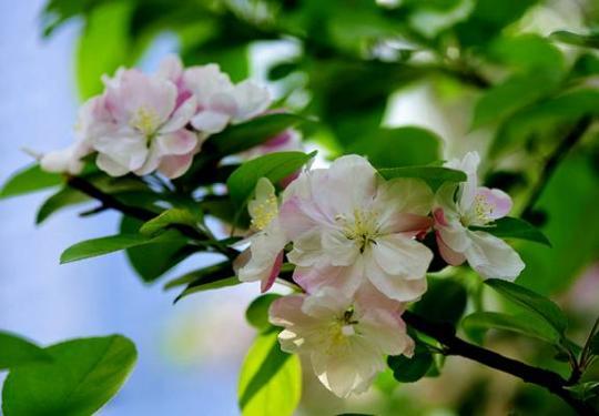 北京海棠花