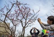 北京明城墙遗址公园梅花初绽 引市民驻步观赏