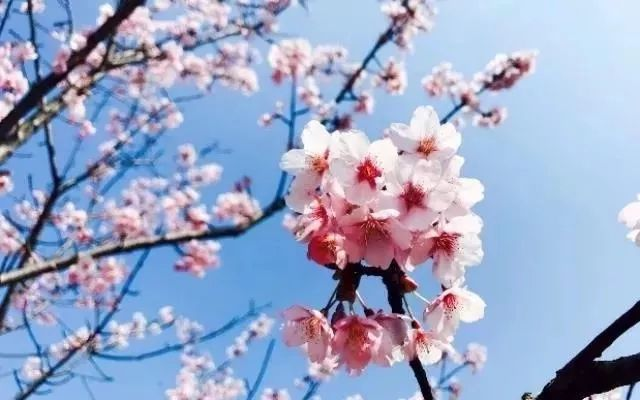 2019上海樱花节游览攻略(时间+地点+交通)[墙根网]
