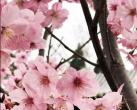 2019北京春季赏花:樱花