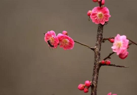 2019北京春季赏花:梅花