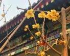 北京今春首个赏花季本周开启 各大公园看点抢先瞧