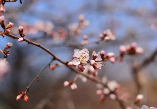 2019北京春季赏花指南:桃花
