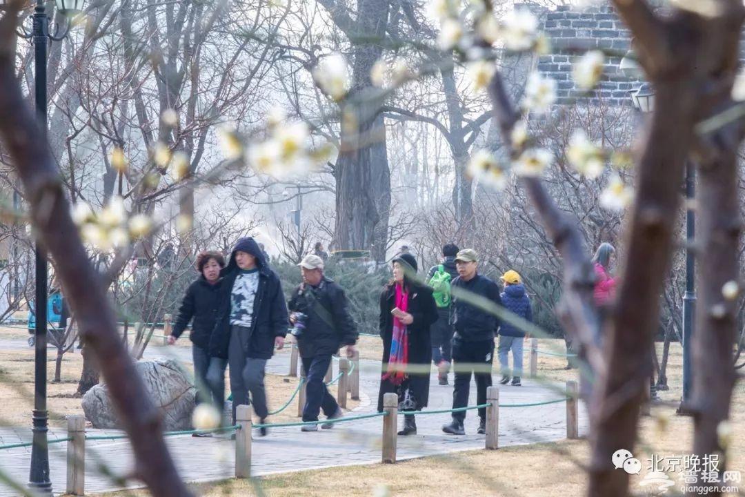 """迎春玉兰已绽放,腊梅盛开!2019北京这些""""花事""""不容错过[墙根网]"""