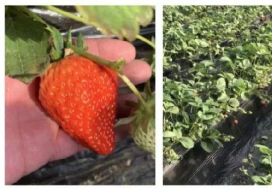 北京海淀区超全草莓采摘攻略