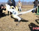 四只天鹅北京野鸭湖放飞,园林绿化部门呼吁市民文明观鸟