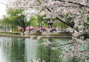 2019北京玉渊潭公园樱花有望下周报春,垂枝樱静待游客前来观赏