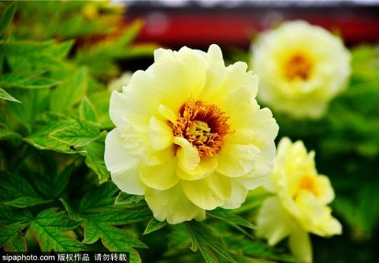 蓟运河畔的京津国色天香牡丹园预计4月开园