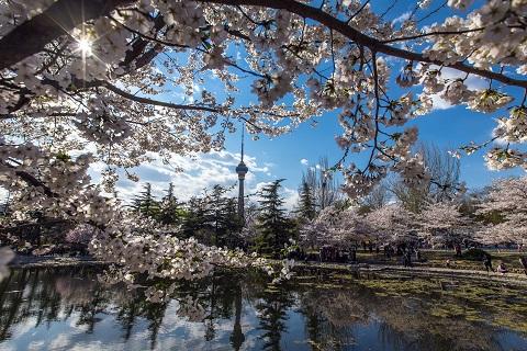2019玉渊潭樱花节将于3月中下旬开幕