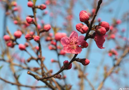 桃花报春 上海植物园下周进入早桃花盛花期