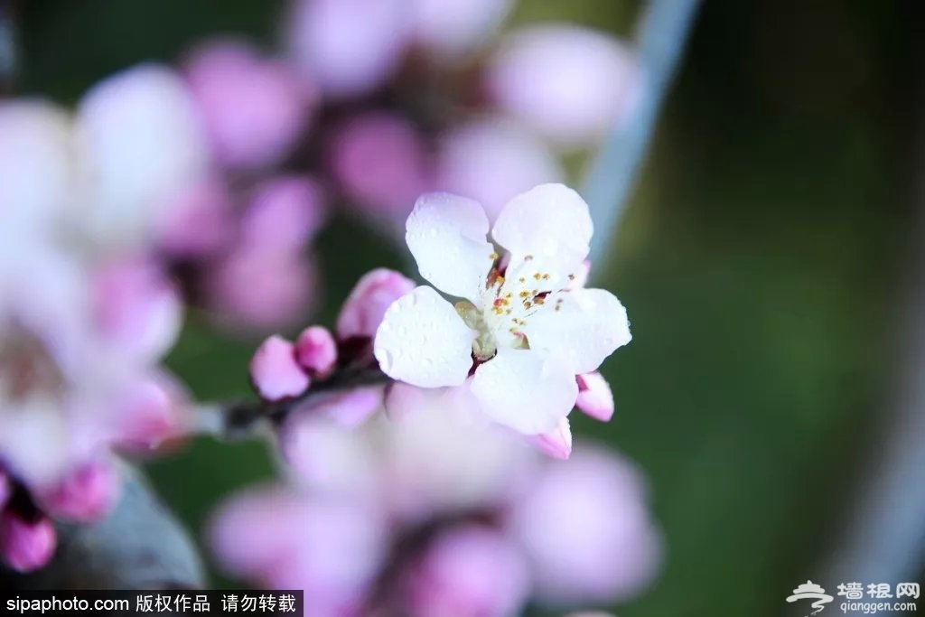 比三生三世的桃花更美!海淀这个地方才是真正的人间仙境![墙根网]