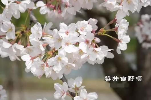 """上海""""樱花大道""""正盛!分不清桃李梅杏樱?辨花攻略在此[墙根网]"""