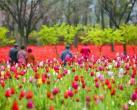 24000余平方米!今年的郁金香花博会免票入园