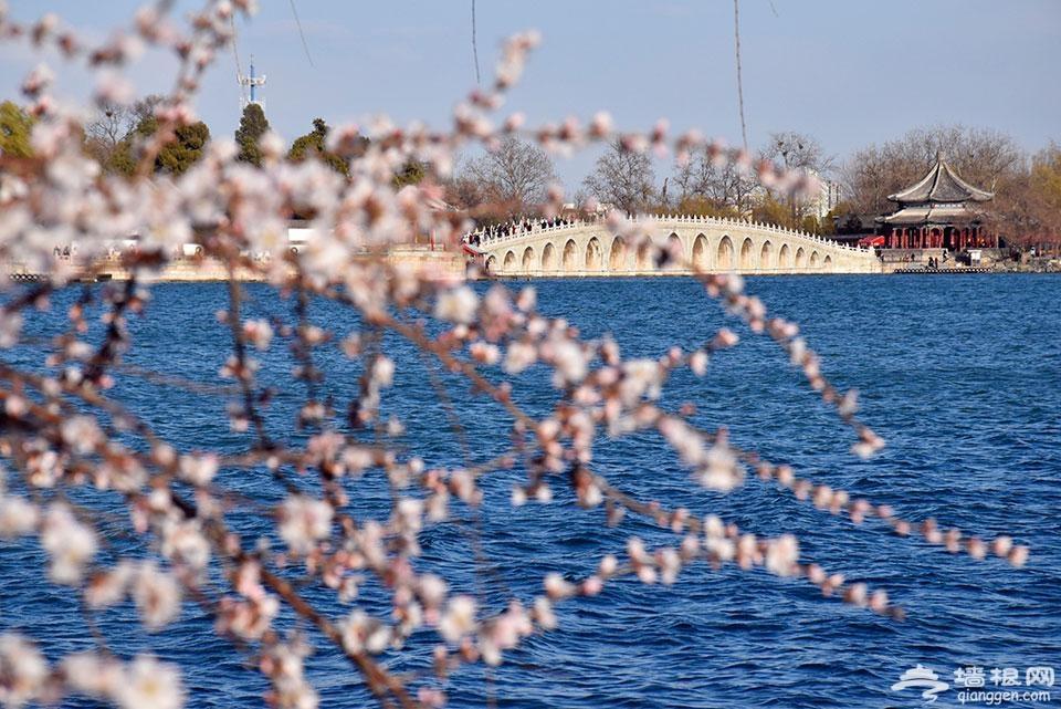 颐和园西堤桃花盛开 吸引游客前来观赏拍照[墙根网]
