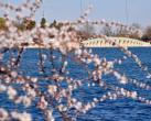 颐和园西堤桃花盛开 吸引游客前来观赏拍照