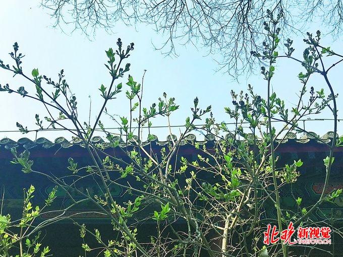 北京法源寺丁香花盛开,林徽因曾陪泰戈尔来此赏花,诗会誉满京华[墙根网]