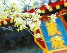 北京智化寺内白色梨花满枝 古乐禅音伴花香别有意境
