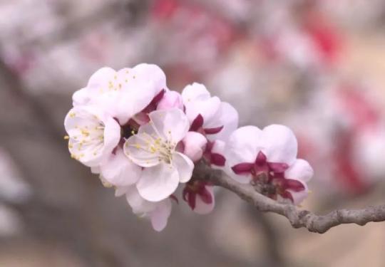 2019邢台生态旅游暨第三届巨鹿五彩杏花节(时间+地点+看点)