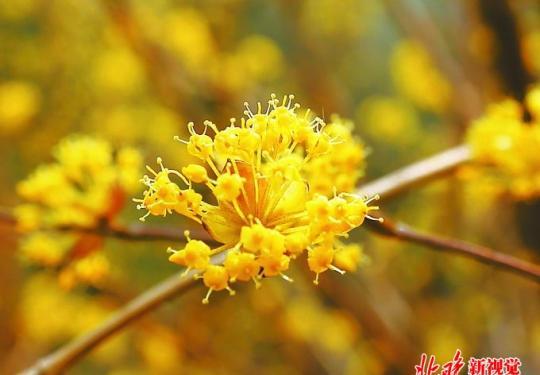 北京景山公园山茱萸古意浓浓,满树金黄,丝毫不比迎春花逊色