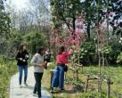 """上海植物园首现玉兰新品种""""娇红1号"""" 正值盛花期"""