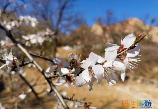 错过就没了!!北京这片桃花林悄悄盛开啦!