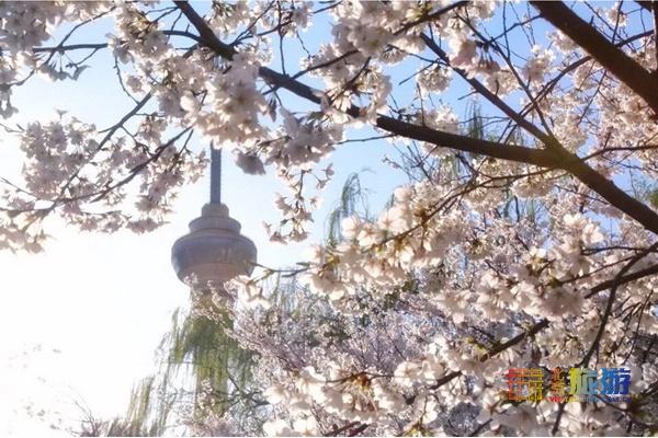 最佳观赏期已到!3000棵樱花,北京真正的花海,规模是武大的3倍[墙根网]