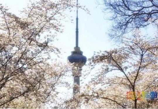 最佳观赏期已到!3000棵樱花,北京真正的花海,规模是武大的3倍