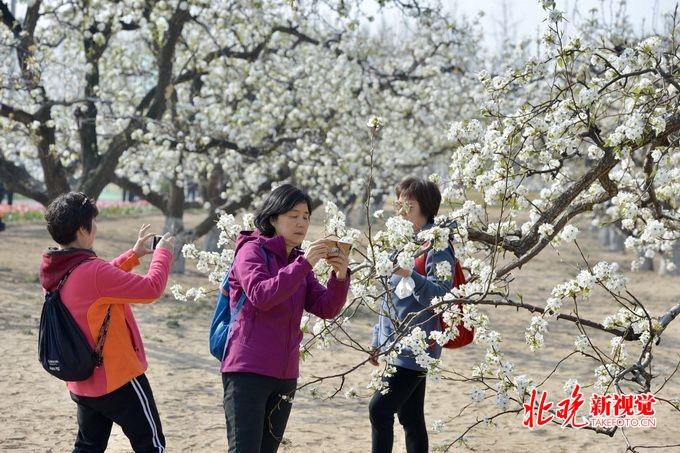 北京第26届大兴梨花旅游文化节启动 打造梨园徒步摄影大赛等体验活动[墙根网]