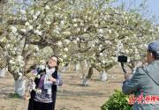 北京第26届大兴梨花旅游文化节启动 打造梨园徒步摄影大赛等体验活动