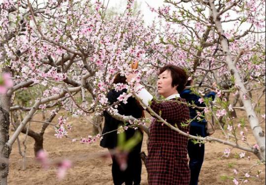 """2019年""""水韵桃乡、大美深州""""桃花文化旅游节活动即将开幕"""