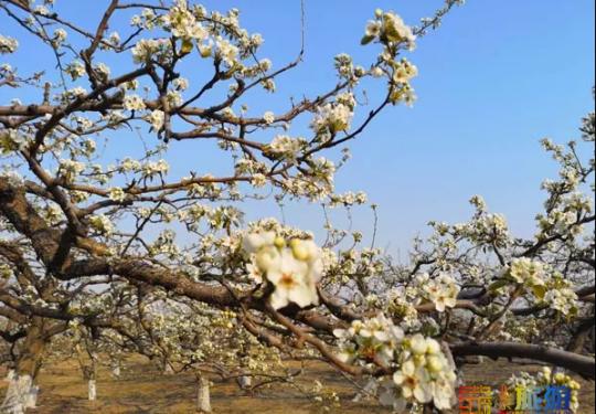 北京超大规模梨花海洋开放,这个隐秘小村庄美爆了!